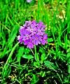 Flore locale, rare et protégée. (3).jpg