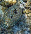 Flounder hawaii.jpg