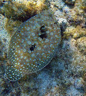 Flounder - Flowery flounder, Bothus mancus,  Bahía de la Chiva, at Hawaii
