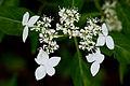 "Flower, Hydrangea ""Amagi-Amacya"" - Flickr - nekonomania.jpg"