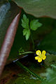 Flower, Nuphar japonicum - Flickr - nekonomania (1).jpg