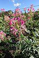 Flower @ Parc Floral @ Paris (30043046912).jpg