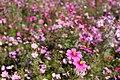Flower field (2088329252).jpg