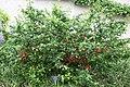 "Flowering Quince (Chaenomeles x superba) ""Mandarin"" (3502431382).jpg"