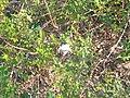 Flowers of Sundarban.jpg