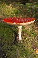 Fly Agaric on Bennan Hill Clatteringshaws - geograph.org.uk - 771209.jpg
