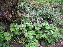 A group of about 20 three-leaved plants with small light-yellow or light-blue flowers form part of a forest floor with many ferns.