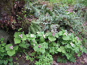 Forest Park (Portland, Oregon) - Forest Park trillium in multiple growth stages