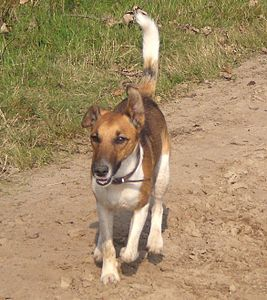 Fox terrier smooth in action.jpg