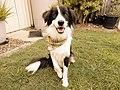 Frankie the Border Collie (aka Border Collie Frankie) showing off his doggy bandana.jpg