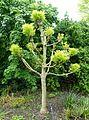 Fraxinus excelsior 'Golden Desert' - Hillier Gardens - Romsey, Hampshire, England - DSC04506.jpg