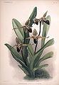 Frederick Sander - Reichenbachia II plate 61 (1890) - Cypripedium rothschildianum.jpg