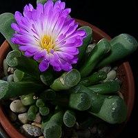Frithia pulchra11