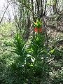 Fritillaria imperialis sl2.jpg