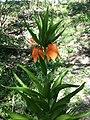 Fritillaria imperialis sl5.jpg