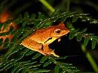Frog Rhacophorus bipunctatus IMG 0635 02.jpg