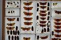Fulgoridae Drawers - 5036077169.jpg