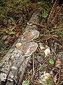 Fungi on fallen Birch Branch - geograph.org.uk - 239255.jpg