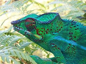 Furcifer - Furcifer pardalis, panther chameleon