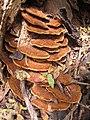 Fuscoporia gilva (Schwein.) T. Wagner & M. Fisch 729572.jpg