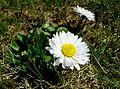 Gänseblümchen auf der Wiese 17-04-2010 (5).jpg