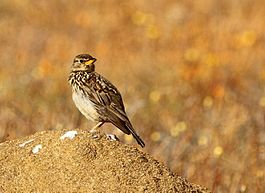 Galerida magnirostris -Namaqua National Park, Northern Cape, South Africa-8.jpg