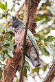 Gang-gang Cockatoo (Callocephalon fimbriatum) (8079600947).jpg