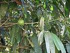 Garcinia xanthochymus (16014526548).jpg