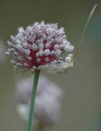 Garlic - Flower head