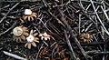 Geastrum floriforme Vittad 587508 crop.jpg