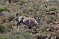 Gemsbok (Oryx gazella) (32779296725).jpg