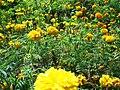 Genduphula marigold Odisha.jpg