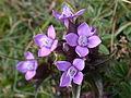 Gentiana campestris flowers1.jpg