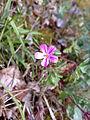 Geranium robertianum 03.jpg