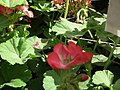 Geranium single from Lalbagh flower show Aug 2013 7909.JPG