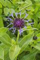Gersfeld Obernhausen SCI 555578052 Centaurea montana a.png