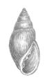 Geyer-1927 Myosotella myosotis.png