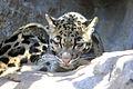Gfp-clouded-leopard.jpg