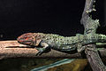 Gfp-northern-caiman-lizard.jpg