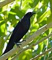 Giant Cowbird (Molothrus oryzivorus) (30926142024).jpg