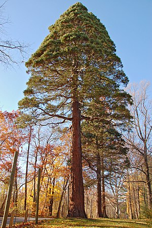 Middletown Township, Delaware County, Pennsylvania - Giant Sequoia at John J. Tyler Arboretum