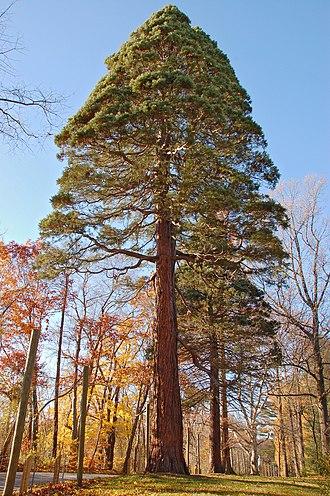 John J. Tyler Arboretum - Giant Sequoia, November 2007