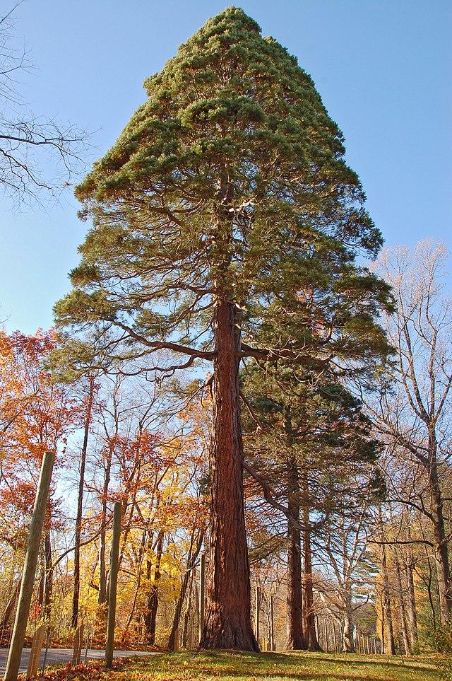 sequoia geant en automne