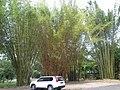 Giant bamboo in carpark - panoramio.jpg