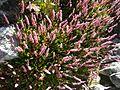 Giardino botanico alpino Viote - Polygonum affine1.jpg