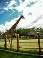 Girafa em Beto Carrero World.jpg