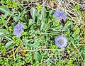 Globularia bisnagarica in Aveyron (1).jpg