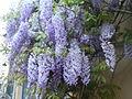 Glycines au printemps rue des Thermopyles - P1380589 C.JPG
