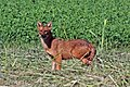 Golden jackal (Canis aureus moreotica).jpg