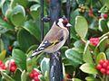 Goldfinch (Carduelis carduelis) (8310807119).jpg